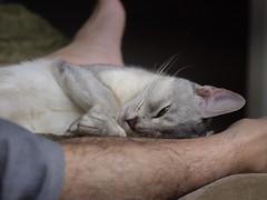 20190422_06_LR (enno7898) Tags: panasonic lumix lumixg9 dcg9 xvario 35100mm f28 cat pet abyssinian