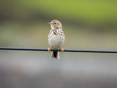 Meadow Pipit (Pendlelives) Tags: meadow pipit wire widdop reservoir lancashire yorkshire moorland moors british bird birds chest cute stripes tail background nature wildlife countryside ornithology