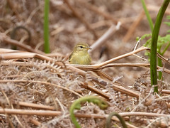 Willow Warbler (Pendlelives) Tags: widdop reservoir lancashire yorkshire moorland moors british bird birds chest background nature wildlife countryside ornithology willow warbler feeding ferns fern hebden bridge