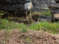Heron with duckling (Pendlelives) Tags: widdop reservoir lancashire yorkshire moorland moors british bird birds chest background nature wildlife countryside ornithology grey heron predator mallard duckling mouth beak eating snatched snatch long legs