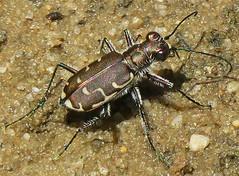 Bronzed Tiger Beetle, Cicindela repanda repanda, Warren Grove Recreation Area, Burlington County, NJ (Seth Ausubel) Tags: carabidae coleoptera cicindelinae