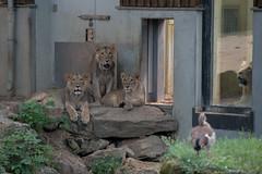 Heiss im Frankfurter Zoo-bw_20190605_6617.jpg (Barbara Walzer) Tags: tiere löwe löwen frankfurterzoo 050619