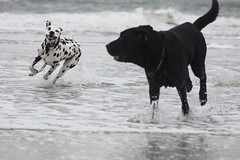 IMG_7643 (Ilse van Wijk) Tags: labrador dog ameland sea beach swimming nature fun doggie mike retriever labradorretriever blacklabrador puppy run running free playing dogs happy spring summer