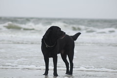 IMG_7622 (Ilse van Wijk) Tags: labrador dog ameland sea beach swimming nature fun doggie mike retriever labradorretriever blacklabrador puppy run running free playing dogs happy spring summer