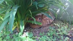 une place à l'ombre (ghjattu1601) Tags: lapin photoanimalière jardin été animaux mignon amitié complice nature vert sommeriscoming rabbit kaninchen conejo