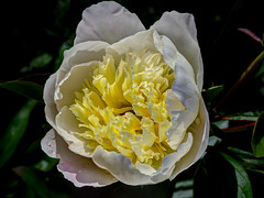 Peony                 190605 012 (vintage 1953 & wackymoomin) Tags: peony paeonia white flower flowers garden olympus em10mkii silkypix photomatixessentials ourgarden 1442ez mft m43