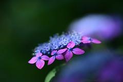 ヤマアジサイ (myu-myu) Tags: flower nature nikon hydrangea mygarden hydrangeaserrata macro japan 庭 ヤマアジサイ