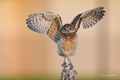 Balancing Act (craig goettsch) Tags: burrowingowls capecoral owl bird avian raptor nature wildlife animal wings nikon d500