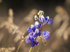 Yosemite Lupine (RobertCross1 (off and on)) Tags: 60mmf28macromzuiko ca california em5 nps omd olympus sierranevada sierras wawona yosemite flowers lupine macro mirrorless nature wildflowers