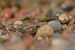 Sand hopper / Talitrus saltator (~ Jessy S ~) Tags: beach plage sable sand sea mer eau water macro macrophotography animal nikon d750 nikkor 105mm 28 105micro pebbles pierres galets bokeh amphipod crustacean