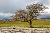 Winskill Tree (Dave Snowdon (Wipeout Dave)) Tags: davidsnowdonphotography canoneos80d northyorkshire yorkshiredales yorkshiredalesnationalpark winskill ribblesdale limestonepavement yorkshire tree winskillstones