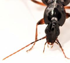 8.1 mm ground beetle (ophis) Tags: coleoptera adephaga carabidae harpalinae harpalitae sphodrini synuchus synuchusimpunctatus groundbeetle