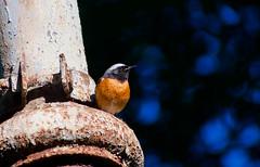 Common Redstart (Phoenicurus phoenicurus) (Kremlken) Tags: phoenicurusphoenicurus redstarts parks moldovan easterneurope birds birding birdwatching nikon500