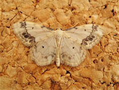 Treble Brown Spot.  Sterrhinae (gailhampshire) Tags: treble brown spot sterrhinae