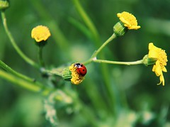 Lady bird come on down.  I'm here waiting on the ground. (erlingraahede) Tags: vsco canon grundlovsdag denmark holstebro flowers yellow ladybird