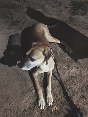 155/365 (moke076) Tags: 2019 365 project 365project project365 oneaday photoaday mobile cell cellphone iphone shadow shadows night evening dog animal pet great dane moose laying down