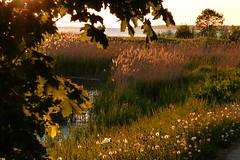 Sunset in Haapsalu , Estonia (evisdotter) Tags: sunset sunsetlight evening nature trees grass dandelion water reed landscape sooc haapsalu estonia