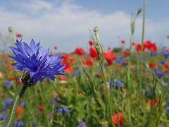 What a wonderful world (Landanna) Tags: whatawonderfulworld flowers cornflower poppies klaproos valmue