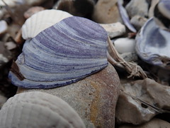 A beautiful piece of beach jeans (Landanna) Tags: beachjeans shells mussels