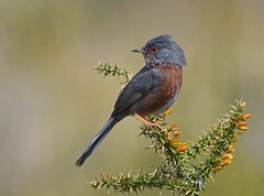 Toutinegra-do-Mato / Dartford Warbler (anacm.silva) Tags: toutinegradomato sylviaundata dartfordwarbler ave toutinegra bird wild wildlife nature natureza naturaleza birds aves serradafreita portugal coth5