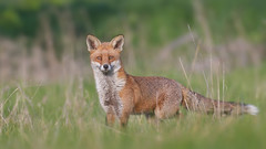 Red Fox (KHR Images) Tags: redfox red fox vulpesvulpes cambridgeshire fens wildlife nature nikon d500 kevinrobson khrimages