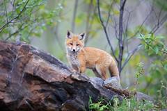 New Beginnings (Megan Lorenz) Tags: redfox fox foxkit babyanimals spring nature wild wildlife wildanimals algonquin algonquinprovincialpark ontario canada mlorenz meganlorenz