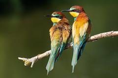 Merops apiaster (marypink) Tags: gruccioni merops meropsapiaster coraciiformes meropidae aves birds nikond500 nikkor200500mmf56