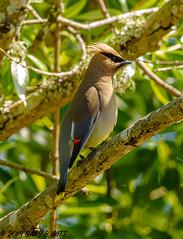 Cedar Waxwing (orencobirder) Tags: birds waxwings dawsonyearcount smallbirds flickrexport