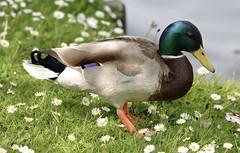 Mallard - male #1 (MJ Harbey) Tags: duck bird waterfowl mallard malemallard miltonkeynes furztonlake buckinghamshire anasplatyrhynchos aves anseriformes anatidae anas nikon d610 nikond610 daisies
