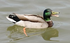 Mallard - male #3 (MJ Harbey) Tags: malemallard mallard duck bird waterfowl anasplatyrhynchos aves anseriformes anatidae anas furztonlake miltonkeynes buckinghamshire nikon d610 nikond610 lake water