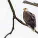 Wild bald eagle in the rain