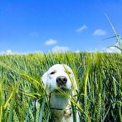 Sammy the Golden Retriever (andreboeni) Tags: golden retriever yellow labrador dog chien hund perros hunden dogs chiens