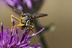 Spilomyia digitata (Jaume Bobet) Tags: spilomyia digitata diptera syrphidae insecto mosca macro bobet canon sigma