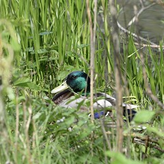 Mallard - male #2 (MJ Harbey) Tags: mallard duck waterfowl bird anasplatyrhynchos aves anseriformes anatidae anas malemallard grass furztonlake miltonkeynes buckinghamshire nion d610 nikond610