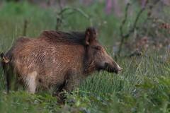 Laie en mode pose. (rocailles) Tags: wildlife boar wildboar sanglier laie ngc