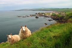 Sheep // St Abbs (DerekSmith_93) Tags: sheep animal animals nature coast coastline coastal sea harbour harbor summer cliff scotland eastscotland visitscotland seaside seascape wildlife wildlifephotography stabbs landscape peaceful newasgard marvel avengers endgame