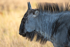 Blue wildebeest (Shane Jones) Tags: wildebeest animal wildlife nature hwangenationalpark zimbabwe africa safari nikon d500 200400vr