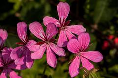 IMG_8127 (Lightcatcher66) Tags: baltrum 2018 flora lightcatcher66