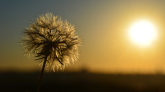 Early Morning Wish (ruben garrido lopez) Tags: madrid altodelacuñaverde amanecer sunrise earlymorning dandelion dientedeleon wish deseo nikond5200 nikon