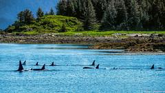 A Whale Of a Story (Robert Streithorst) Tags: alaska group juneau killer nature ocean orca pod robertstreithorst sea seascape swim whale