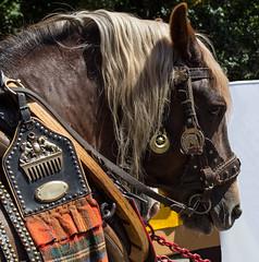 Sachsen-Anhalt-Tag in Quedlinburg (Helmut44) Tags: deutschland sachsenanhalt germany quedlinburg harz sachsenanhalttag festumzug pferd pferdegespann tierporträt tier evening event
