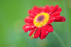 After the rain... (Maria Godfrida) Tags: crazytuesday asingleflower flowers plants nature flora closeup macro rain waterdrops droplets red green bokeh light pollen colourful bright challengeonflickr cof069 cof069patr cof069dmnq cof069chri