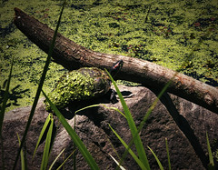 Turtle with Algae on it (Alexander H.M. Cascone [insta @cascones]) Tags: nyc newyorkcity newyork ny brooklyn nature flora natural plant tree prospect park prospectpark green fauna turtle rock shell amphibian reptile stick algae bloom layer coated swimming environment sunny day nice spring lake water