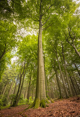 Stand tall (Mark Grant-Jones) Tags: forest forestry wood woodland tree trees nikon d850 landscape canopy outdoors trek trekking travel travelling germany german