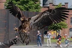 The Eagle has (almost) landed.  Pt.2 (PvRFotografie) Tags: belgium belgië animals animal dieren dier bird birds birdofpray vogel vogels roofvogel roofvogels nature natuur sonyilca99m2 sony70400mmf4056g