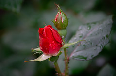Red Rosebuds (Pejasar) Tags: rose flowers blooms blossoms green plant nature garden tulsa oklahoma