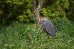 Purple Heron (THW-Berlin) Tags: herons birds reiher vögel tiere animals aves nature sony alpha6500 sigma135art