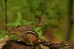 Eastern Chipmunk (Derbyshire Harrier) Tags: may spring newyork centralpark groundsquirrel usa manhattan tamiasstriatus wild naturetrek easternchipmunk urban park city 2019