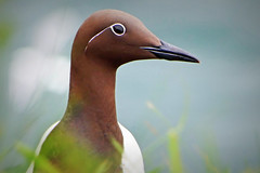 Guillemot Portrait (eric robb niven) Tags: ericrobbniven scotland guillemot wildlife wildbird springwatch fowlsheugh dundee catterline