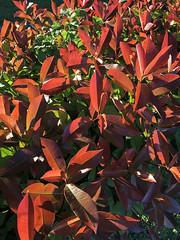 Photogenic Photinia (Diorama Sky) Tags: unitedstates us texas tx fredericksburg plant shrub photinia hedge leaf color red dioramasky fora